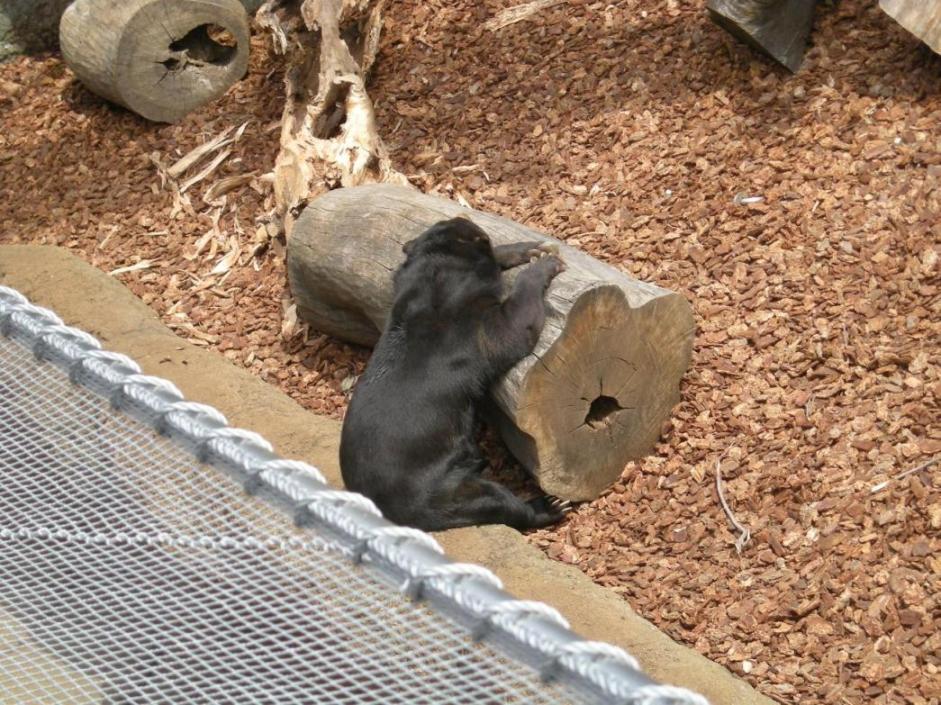 080429上野動物園クマ.jpg